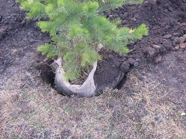 Время посадки сосны, правила пересадки и уход за растением