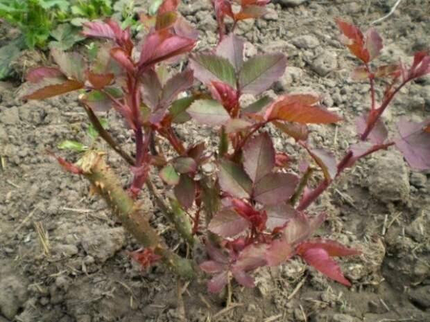 молодые растения роз