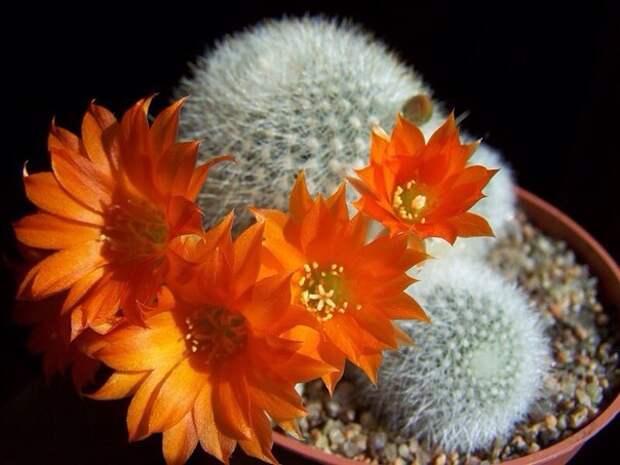 Как добиться цветения кактусов