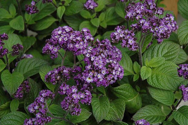 Гелиотроп перуанский, сорт Fragrant Delight. Фото с сайта plants.thegrowingplace.com