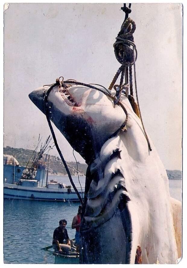 4 - Мальтийская большая белая акула, животные, людоед, океан
