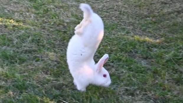 Мрачноватая тайна кроликов, которые ходят на передних лапках