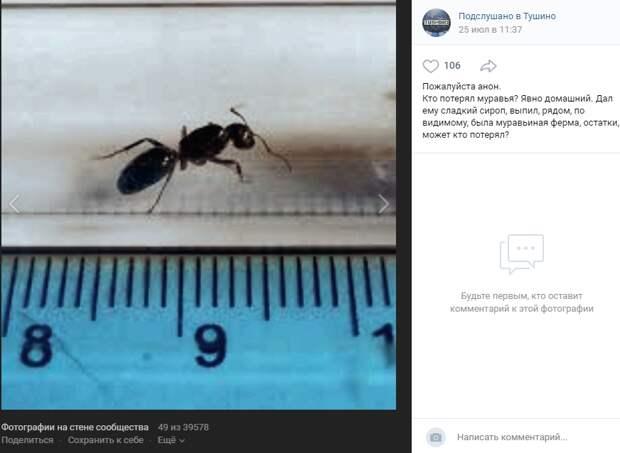 Фото дня: тушинский муравей-гигант любит сладкий сироп