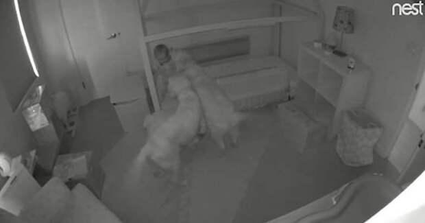 Два золотистых ретривера помогли девочке выбраться из её кроватки, чтобы вместе отправиться бродить по дому в мире, дети, животные, люди, милота, помощь, ретривер