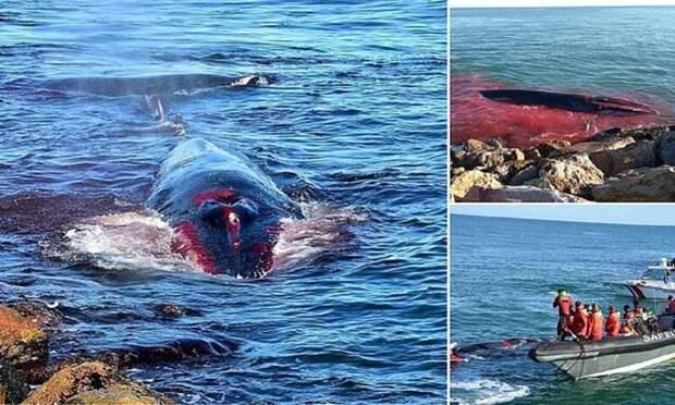 Умирающий кит приплыл к людям за помощью Природа и человек, волонтеры, гибель кита, животные, кит, полосатик, помощь киту, трогательно