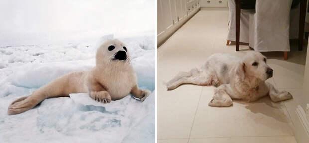 29.  животные, собака, сходство, тюлень