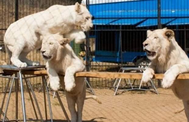Львы в цирке
