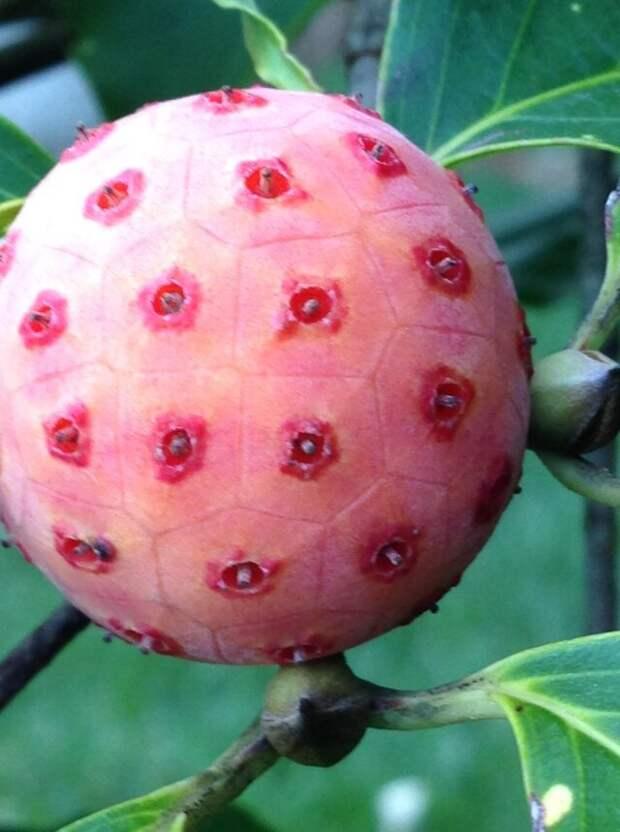 Cornus kousa - небольшое лиственное дерево высотой 8–12 м в семействе Cornaceae. Распространенные названия: коуса, кизил куса, китайский кизил, корейский кизил и японский кизил еда, интересное, неизвестные, плоды, природа, растения, съедобные, фрукты