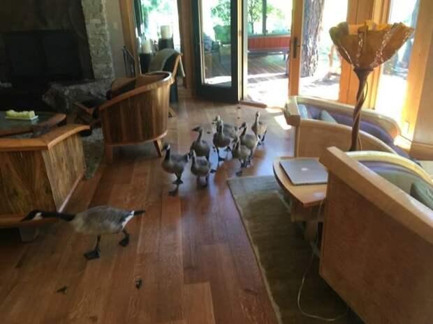 Стая гусей бесцеремонно прошлась по жилому дому вторжение, гуси, животные, наглосты, птицы, смешно, фото, юмор