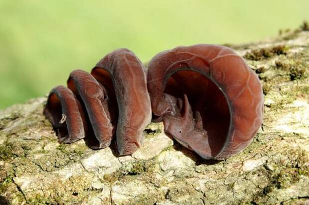 Иудино ухо в природе
