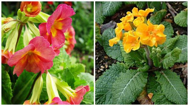 Слева примула из полиантовой группы в моем объективе, справа сорт примулы высокой серии Crescendo, фото сайта russellwholesale.com