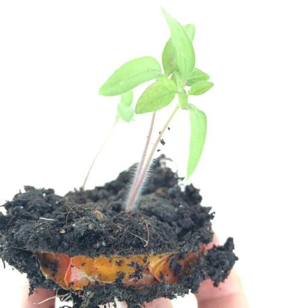 Вкуснейшие томаты круглый год, которые сможет вырастить каждый