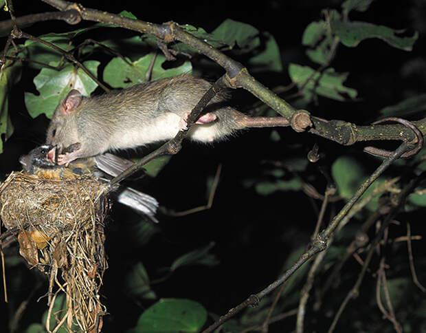 В дикой природе крысы довольно агрессивны и могут нападать на других мелких животных.
