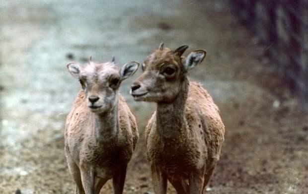 Аргали © WWF России