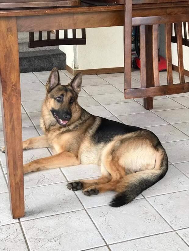 «Ты беги, а я тебя прикрою!»: пес получил пули, спасая мальчика, но судьба не отвернулась от храброго питомца!
