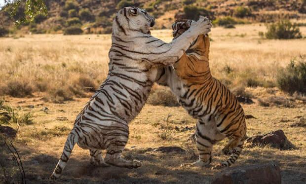Битва тигров