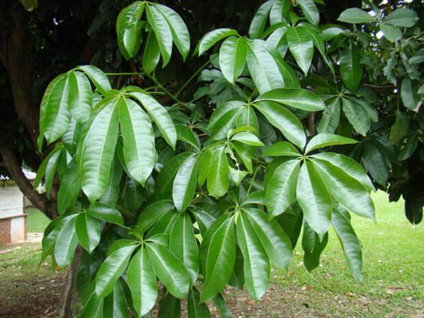 Листья пахиры