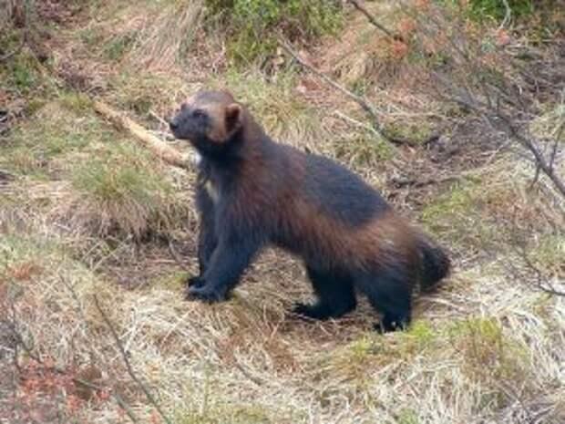 Скунсовый медведь