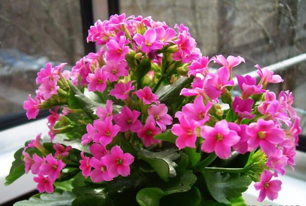 Почему каланхоэ не цветет и как этого добиться? Секреты от гуру цветоводства