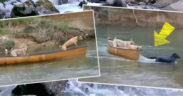 2 собаки остались в каноэ, которое уносило течением! И тут наперерез волнам бросился лабрадор…