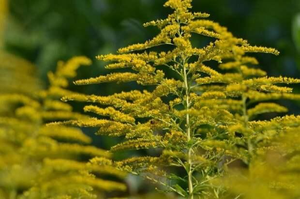 опасные инвазивные растения России