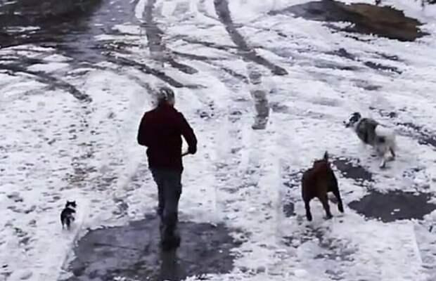 На кадрах колли играет со своей хозяйкой и двумя четвероногими друзьями  бордер-колли, животные, канада, машина, собака, спасение, чихуахуа