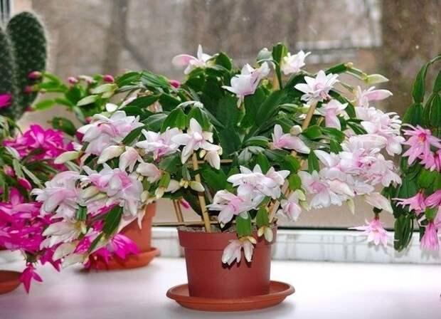 Почему не цветет декабрист?