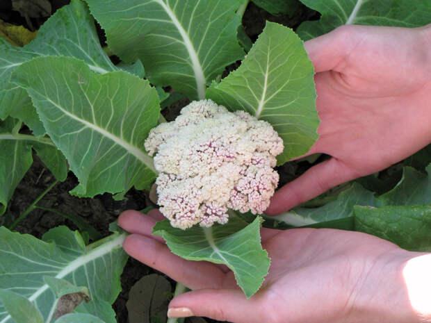Как я выращиваю цветную капусту к новому году!