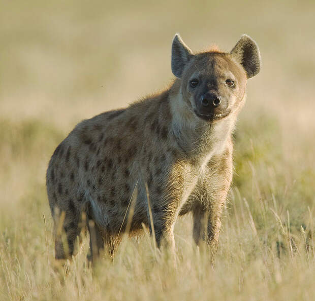 2011-Spotted_Hyena