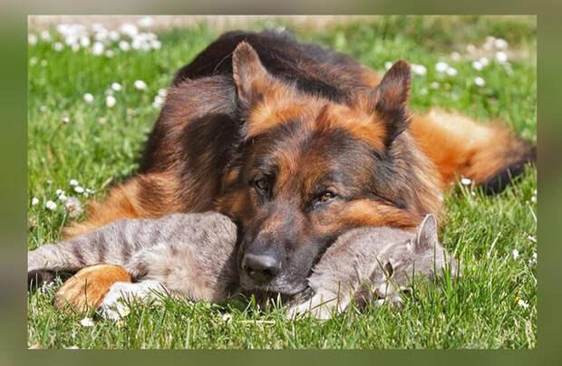 Пёс, бегавший за котом всю свою жизнь, постарел. Кот начал ходить к псу и утешать старого друга