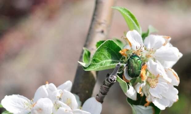 бронзовка на цветке яблони