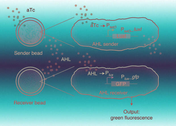 Гидрогель с твердой оболочкой не дал бактериям из биосенсора сбежать в окружающую среду