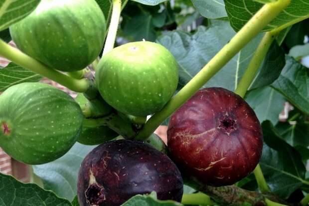 Как выращивать инжир