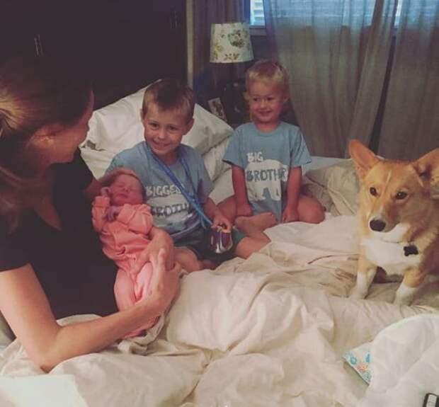 Похоже, Рэйнджер был предназначен судьбой для этой семьи, а Элингтоны обрели самого любящего и сопереживающего пса с человеческим сердцем! дети, животные, история, корги, роды, семья, собака