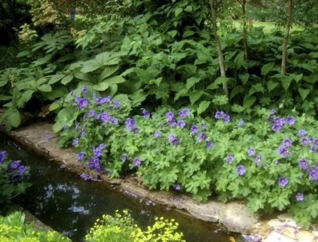 Герань садовая вдоль ручья