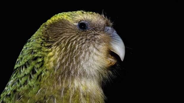 Сложности восстановления в Новой Зеландии популяции попугаев какапо (уникального вида, оказавшегося на грани вымирания) связаны отчасти с ограниченностью их генофонда