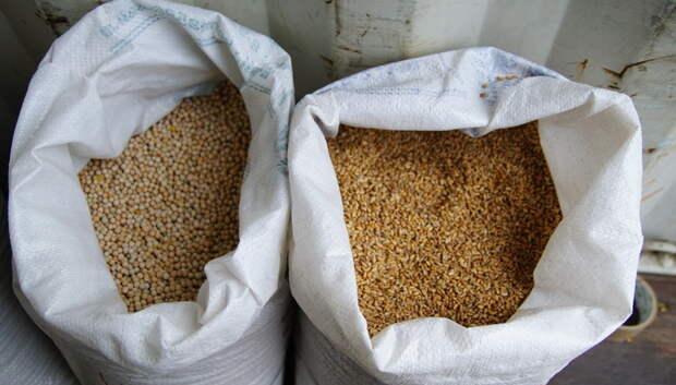 Племзавод «Барыбино» заготовил 5,6 тыс тонн зерна кукурузы для корма скота