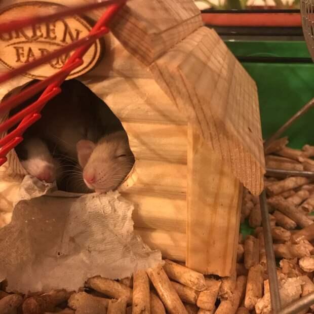 В Щукине пятнистым крысятам ищут новый дом и хозяев
