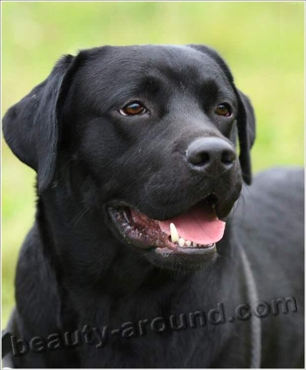 Лабрадор-ретривер  самые красивые породы собак, породы собак с фотографиями