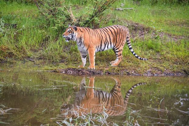 В ЕАО сняли грозный рык тигра Грома