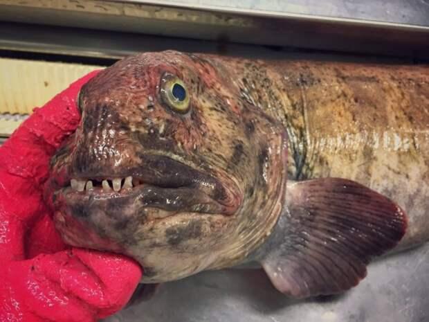 В последних #трал'ах стало много попадаться зубатки. По английски рыба-кошка:) twitter, Социальные сети, вода, монстр, рыба, рыбак