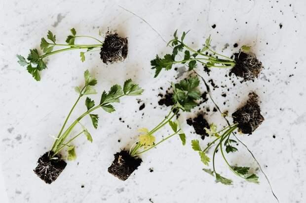 Домашний огород: какие овощи можно выращивать на подоконнике
