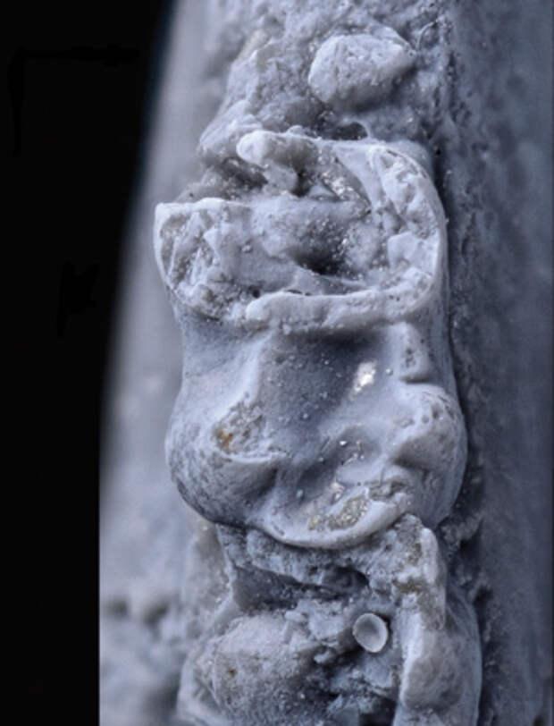 Рис. 1. Голотип азилестеса (Azilestes ragei)