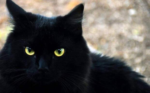 Чёрная кошка: приметы и поверья, связанные с животным