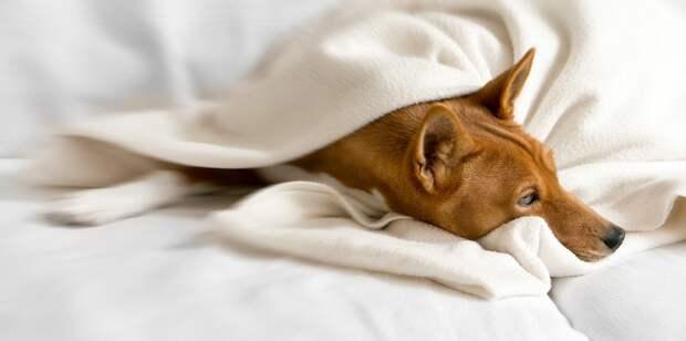 Басенджи - единственная нелающая собака. Фото