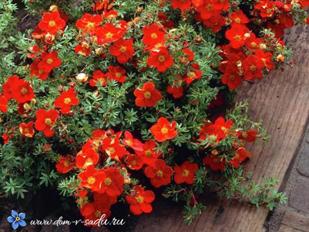 Лучшие декоративные зимостойкие кустарники, цветущие все лето