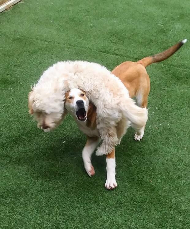 """16. """"Мэгги любит запрыгивать на Брэди. Брэди не понимает, какого черта вообще происходит"""" забавно, забавные животные, истории, питомцы, подборка, смешно, собаки, хозяева"""