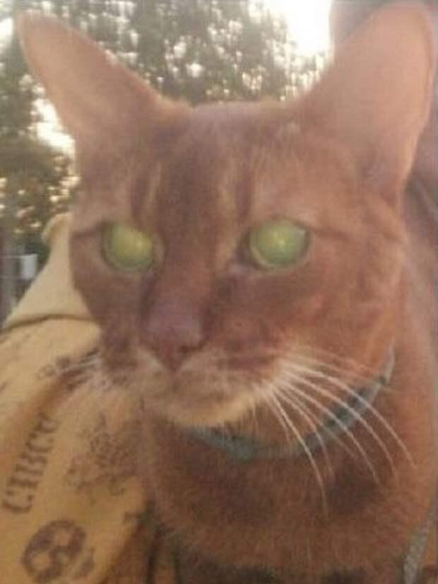 В районе Алёшкинского леса потерялся абиссинский кот по кличке Крис