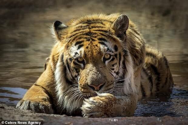 """Тигр, спасенный из """"худшего в мире зоопарка"""" наконец полноценно отъелся и поправился"""