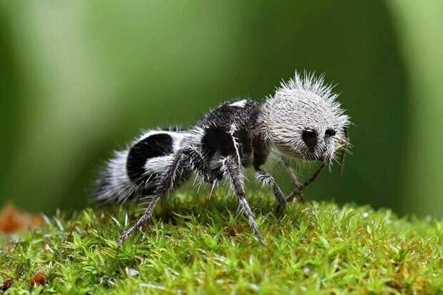 Панда-муравей
